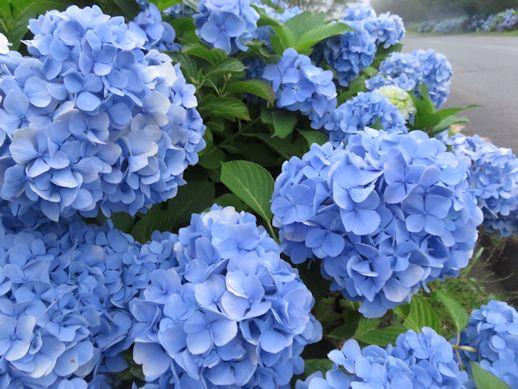 アジサイの花!