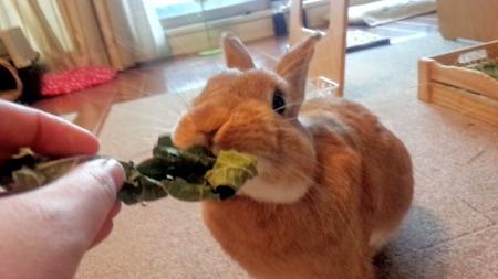 桑の葉を食べるうさぎ