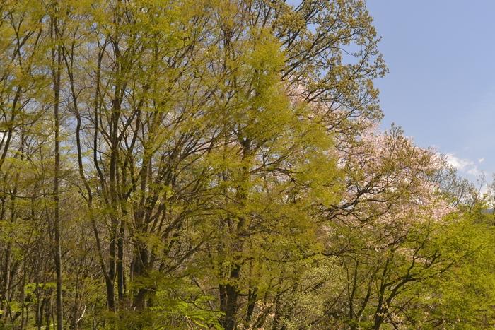 欅と山桜3