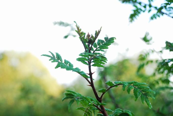 木の芽27