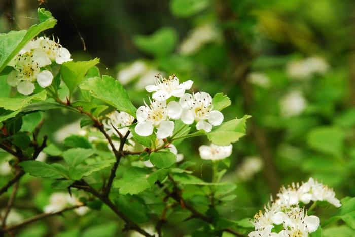 サンザシの花10