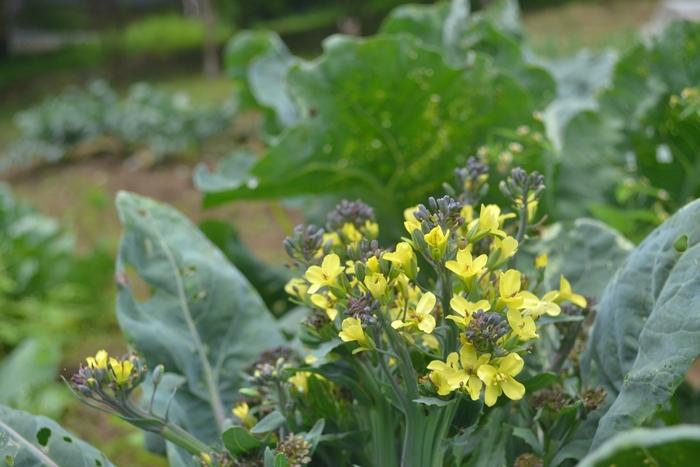 紫カリフラワーの花11