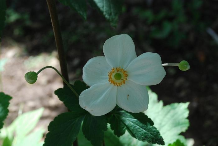 しゅうめい菊2
