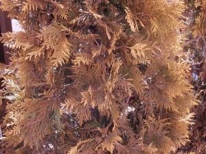 お勧めのシンボルツリー(植栽) ヨーロッパゴールド :エクステリア横浜(神奈川県・東京都の外構工事専門店)