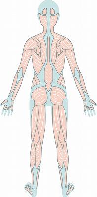 筋肉(前面)