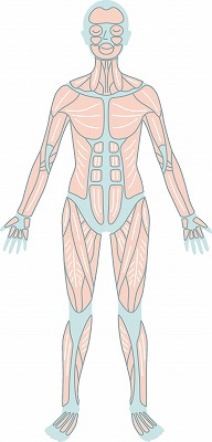 筋肉(背面)