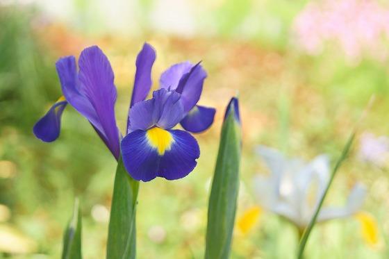 160425青アイリス一番花