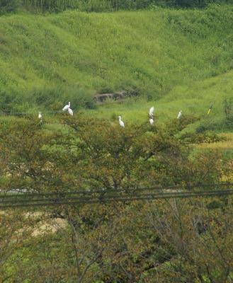 160903桜の木の上のサギ
