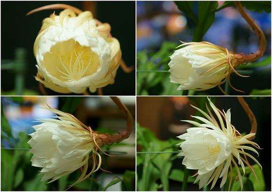 160923月下美人開花