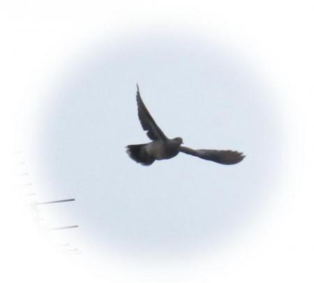 アンテナの野鳥 010