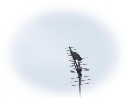 アンテナの野鳥 009