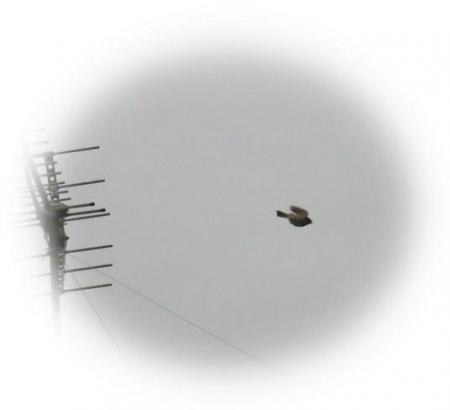 アンテナの野鳥 008