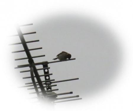 アンテナの野鳥 007