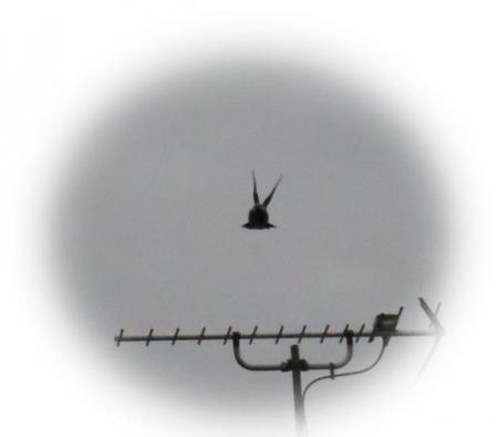 アンテナの野鳥 002
