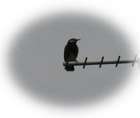 アンテナの野鳥 001