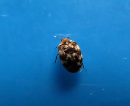 昆虫ユスリカ 017