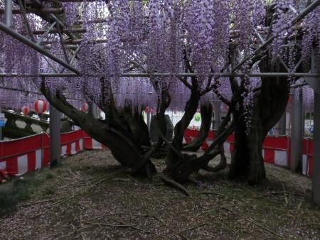 中山の藤の花 031