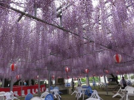 中山の藤の花 035