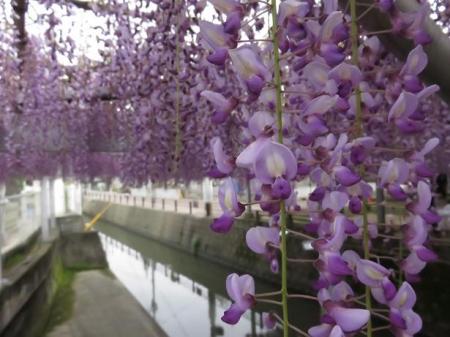 中山の藤の花 004