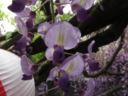 中山の藤の花 108