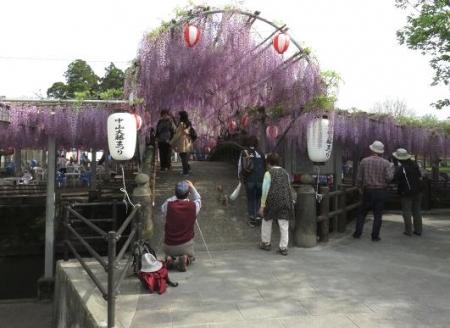 中山の藤の花 085