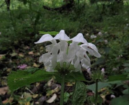 スミレの種・八女温泉昆虫 051