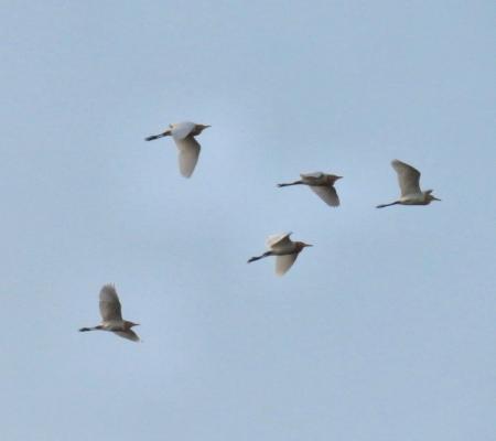 白い鳥 010