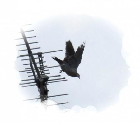 小雨と鳩 004