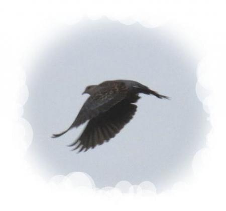 小雨と鳩 002