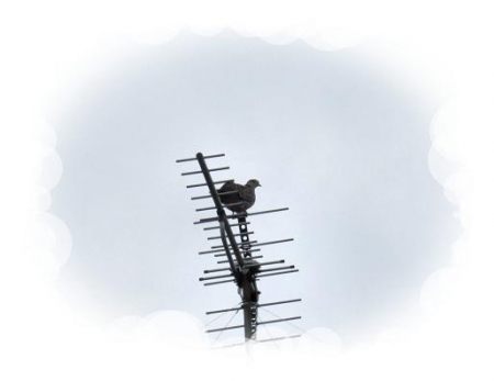 小雨と鳩 003