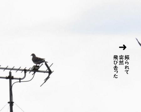 ふられ鳩 018