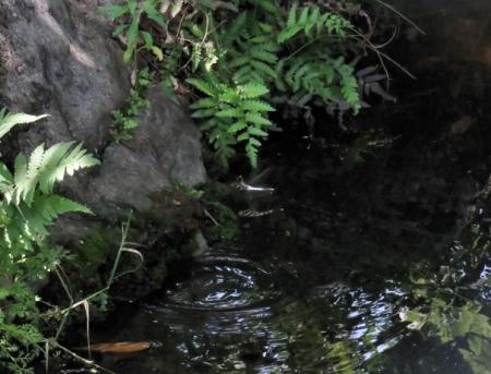 ヤマボウシとトンボ産卵 103