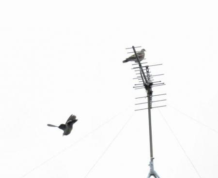 櫨実・雀・髪切虫・ヤマボウシ 005
