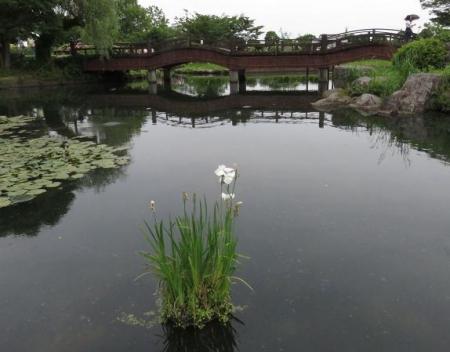 花菖蒲 072