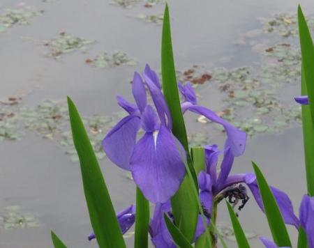 蓬莱池 コウホネの花 034
