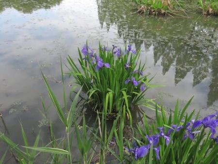 蓬莱池 コウホネの花 032