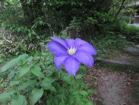 蓬莱池 コウホネの花 084