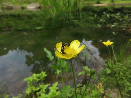 蓬莱池 コウホネの花 069