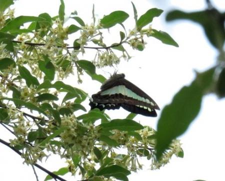 蓬莱池 コウホネの花 070