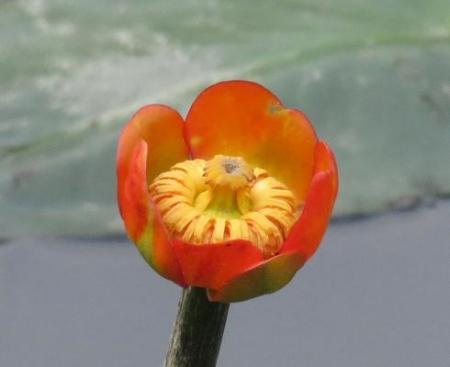 蓬莱池 コウホネの花 028