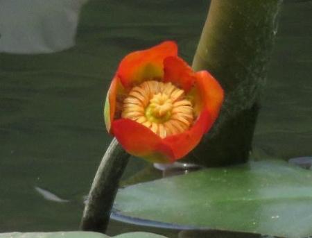蓬莱池 コウホネの花 024