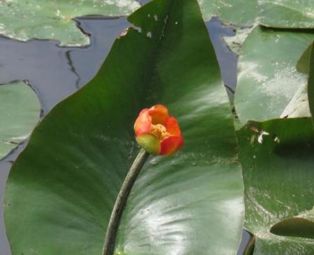 蓬莱池 コウホネの花 020