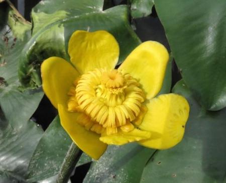 蓬莱池 コウホネの花 015