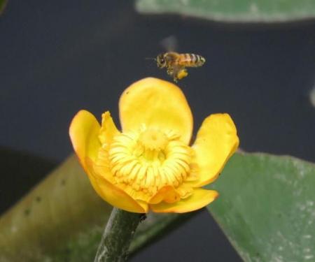 蓬莱池 コウホネの花 017