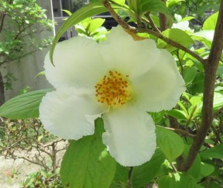 合歓の花と夏椿 031