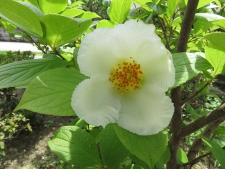 合歓の花と夏椿 028