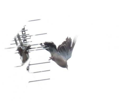 鳩鳩 008