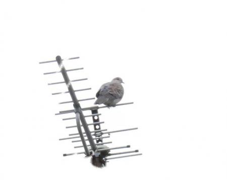 鳩鳩 007