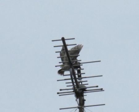 ムクドリ2羽 005