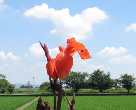鳩とカンナの花 005
